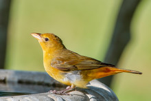 Close Up Of Female Summer Tanager On Bird Bath During Spring Migration In Louisiana