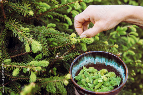 Photo Close up view of woman person hand picking fresh young spruce tree (Picea abies) shoots for food outdoors in spring