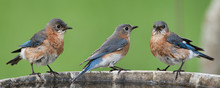 Eastern Bluebirds Perched On E...