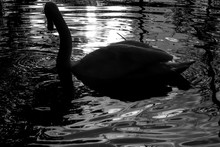 Swan At Sunset. Black And White Photo
