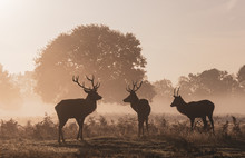 Three Stags In The Mist, Winds...