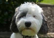 Sheepadoodle Puppy Dog Playing...