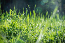 Green Grass In The Rays Of Sun...