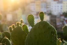 La Luz Del Sol Al Atardecer Ilumina Un Cactus En Un Jardin De Ciudad. Edificios Desenfocados En Segundo Plano