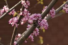 Redbud Bumble Bee