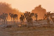 Impala In The Sunset In Botswana