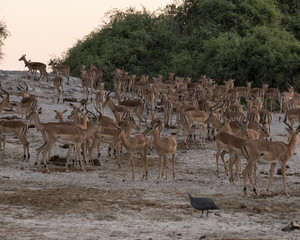 large herd of impala on the bank of the river
