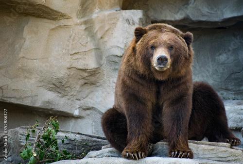 Brown bear staring