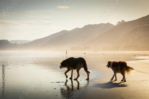 Fototapeta Two dogs in silhouette walking on wet sand in summer haze at sunset, Makorori Be