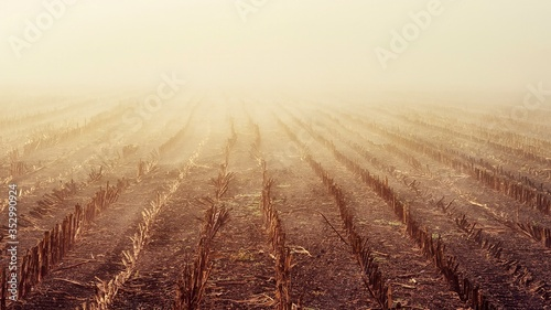 Fototapeta View of a cut corn field with rows of stubble on  a foggy day obraz