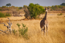 Lonely Young Giraffe In The Sa...