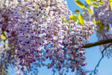 Flowering Wisteria Tree On Blue Sky Background. Chinese Wisteria ( Fabaceae Wisteria Sinensis ) Plant In Sunny Light