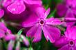 Leinwandbild Motiv Macro photo of blooming flowers of pink carnation growing in green grass outdoors in spring time.