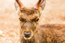 Closeup Shot Of The Head Of A White-tailed Deer