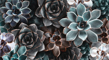 Many Beautiful Succulent Plants As Background, Top View. Banner Design