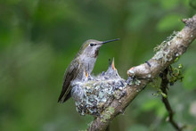 Annas Hummingbird Nest