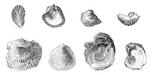 Fossil Oyster, Vintage Illustration.