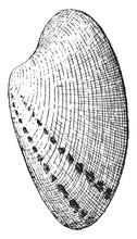 Conch Shell, Vintage Illustrat...