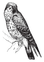 Kestrel, Type Of Small Falcon, Vintage Illustration.