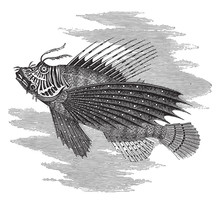 Pegasus (fish), Vintage Illustration.