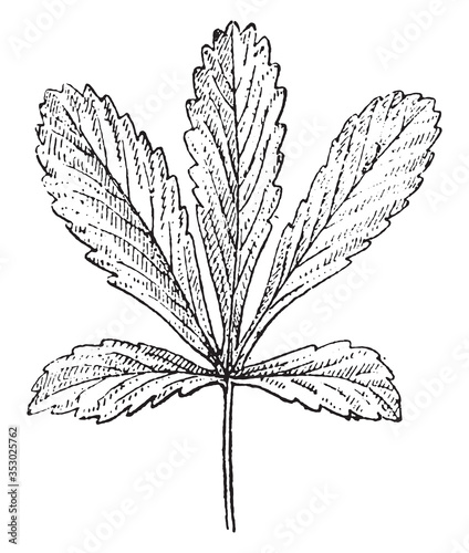 Palmatipartite leaf (Potentilla), vintage illustration. Billede på lærred