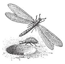 Dragonfly, Vintage Illustration.