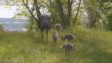 A Female Adult Emu Ostrich Stands Guard And Observes Her Surroundings On A Green Hill With Long Grass And Trees In An Exhibit While Her Five Chicks Are Grazing Around. Static 4k Shot.
