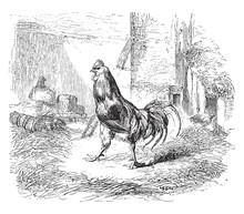 Rooster Animal, Vintage Illustration.