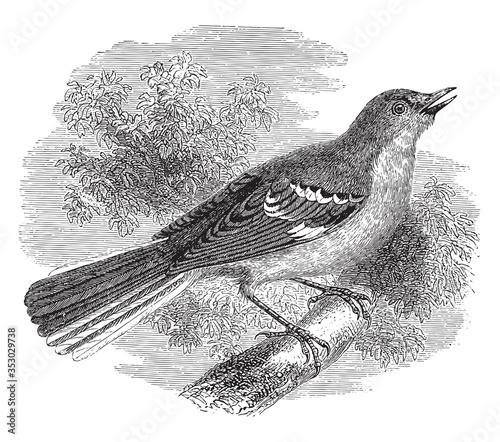Fotografía Chalk-browed mockingbird, vintage illustration.