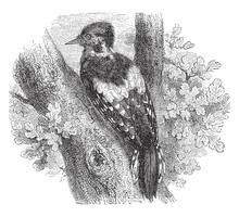 European Green Woodpecker, Vin...
