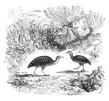 Rail (bird), Vintage Illustrat...