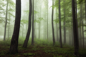 Foggy beech forest in the wilderness nature. Misty woodland.