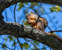 Fox Squirrel Eating A Walnut O...