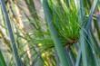 papyrus sedge closeup