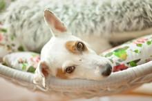 Dog (Jack Russel Terrier) Lying In Rocking Chair Under Blanket