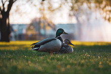 Close Up Of A Duck Couple On A...
