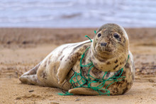 Environmental Tragedy.  A Grey Seal At Horsey Beach In Norfolk England, Tragically Caught In A Section Of Fishing Net.
