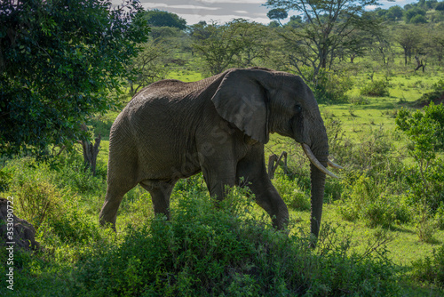 African elephant walks past bushes on savannah Wallpaper Mural