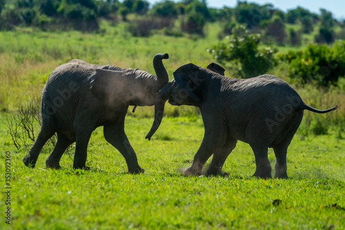 Photo Backlit young elephants play fight on grass