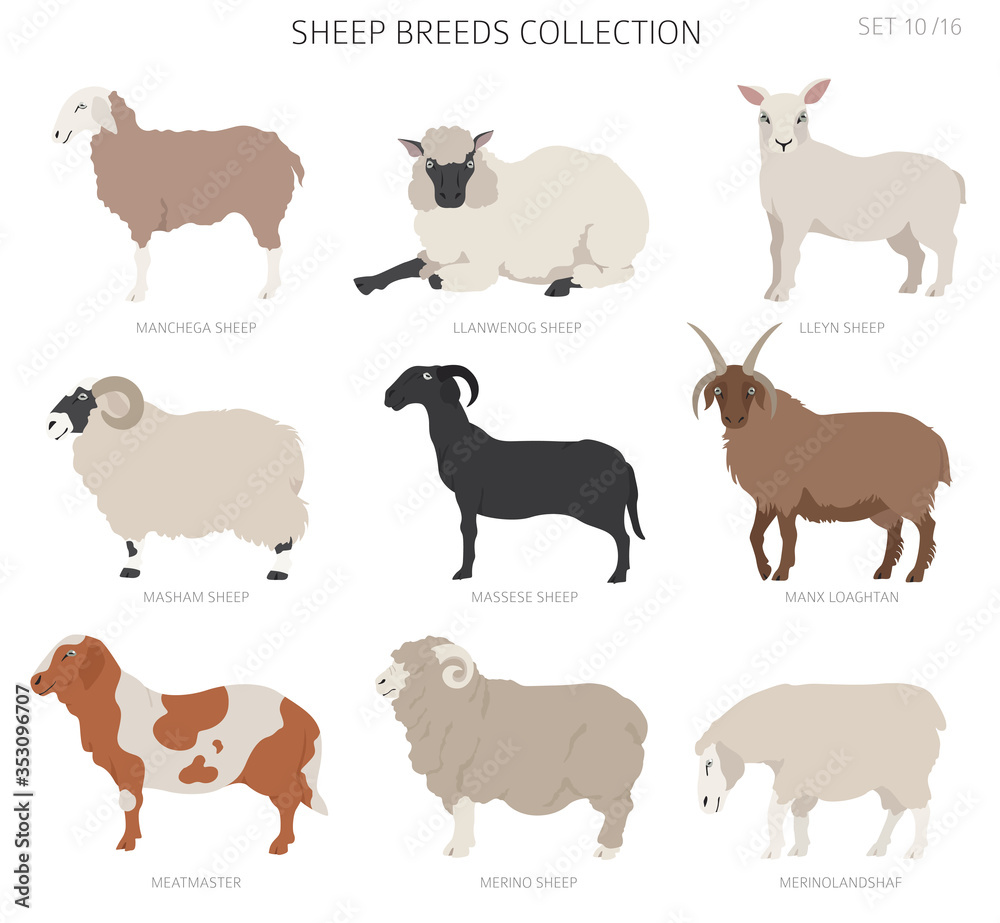 Fototapeta Sheep breeds collection 10. Farm animals set. Flat design