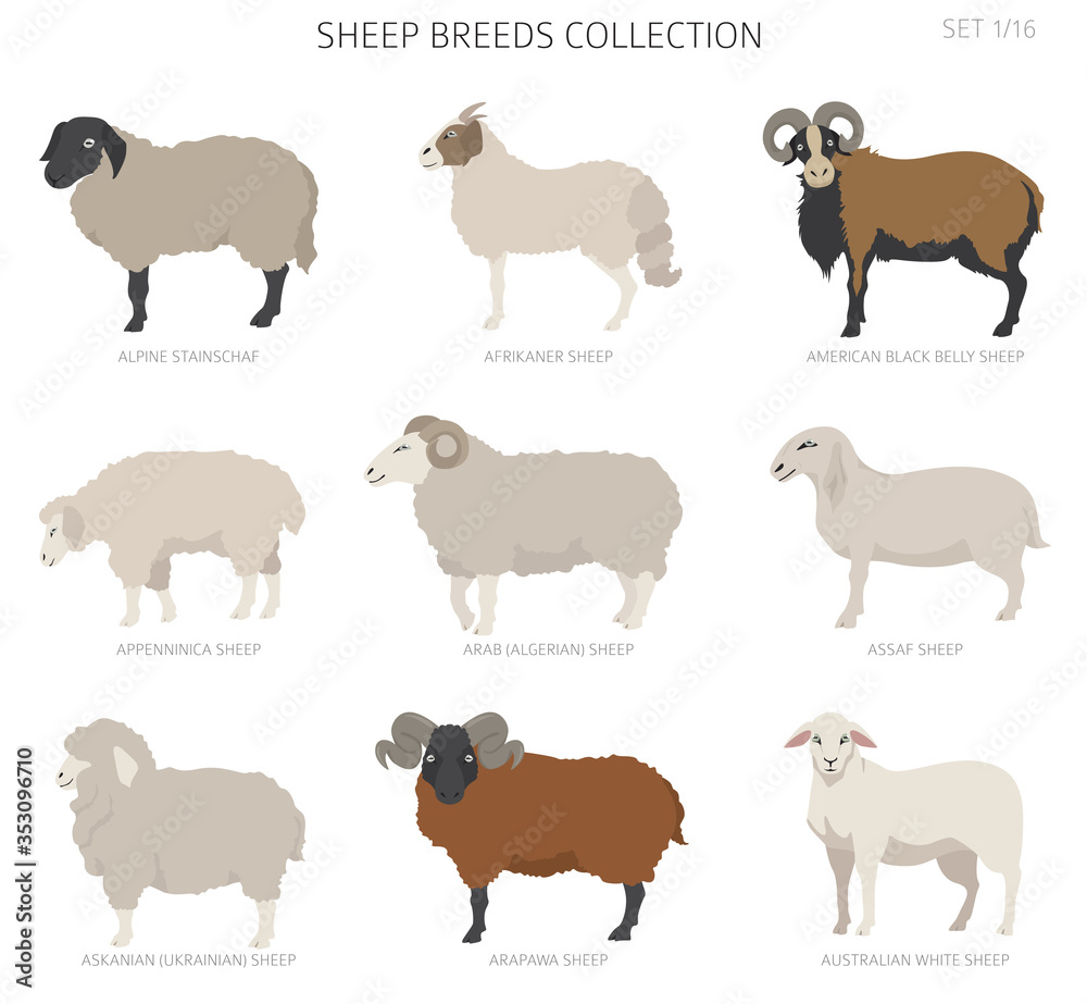 Fototapeta Sheep breeds collection 1. Farm animals set. Flat design