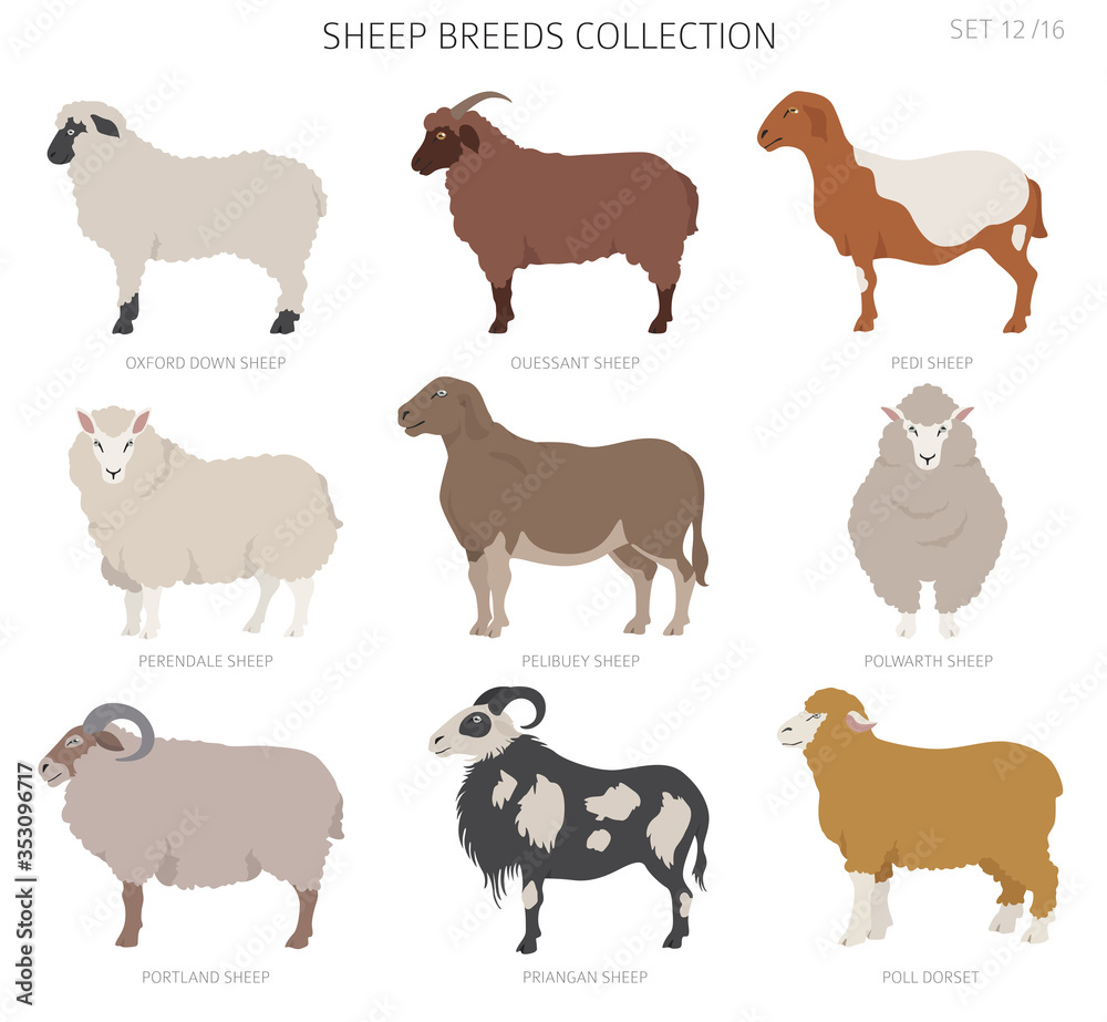 Fototapeta Sheep breeds collection 12. Farm animals set. Flat design