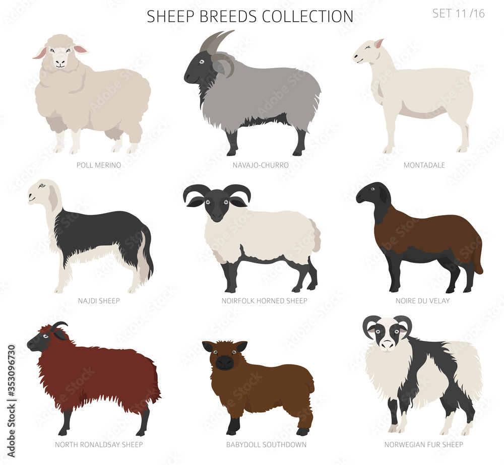 Fototapeta Sheep breeds collection 11. Farm animals set. Flat design
