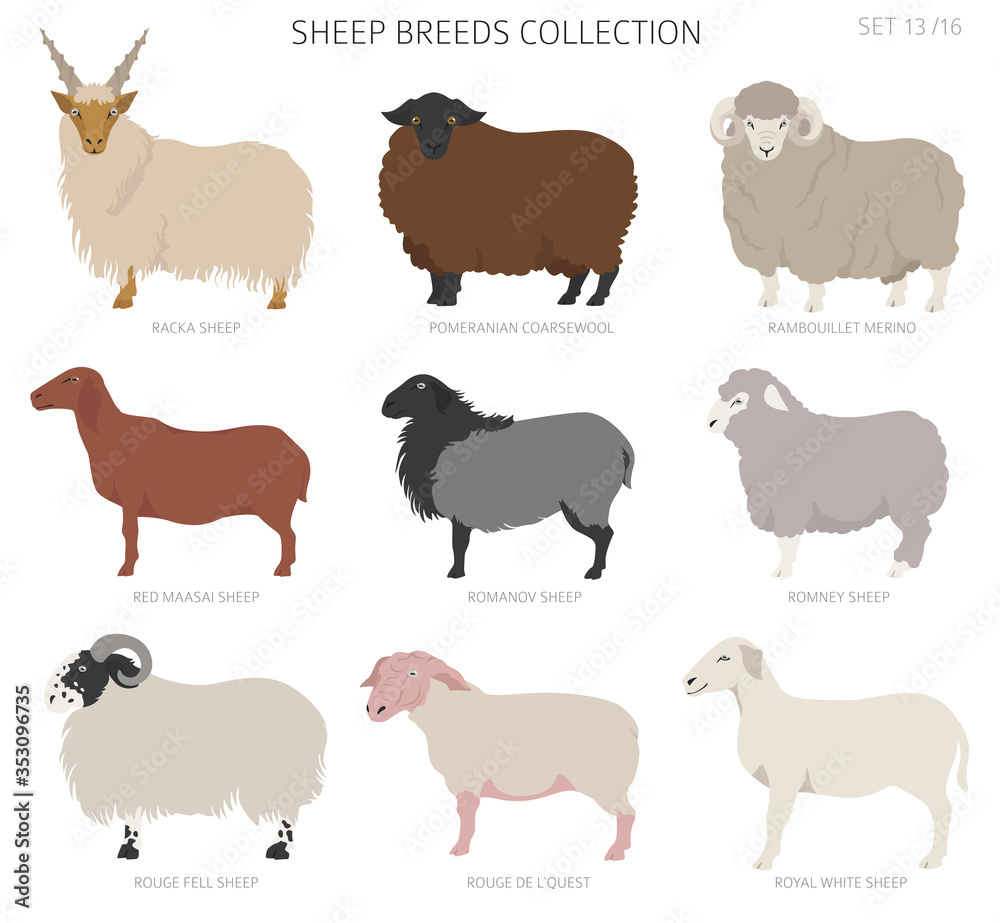 Fototapeta Sheep breeds collection 13. Farm animals set. Flat design