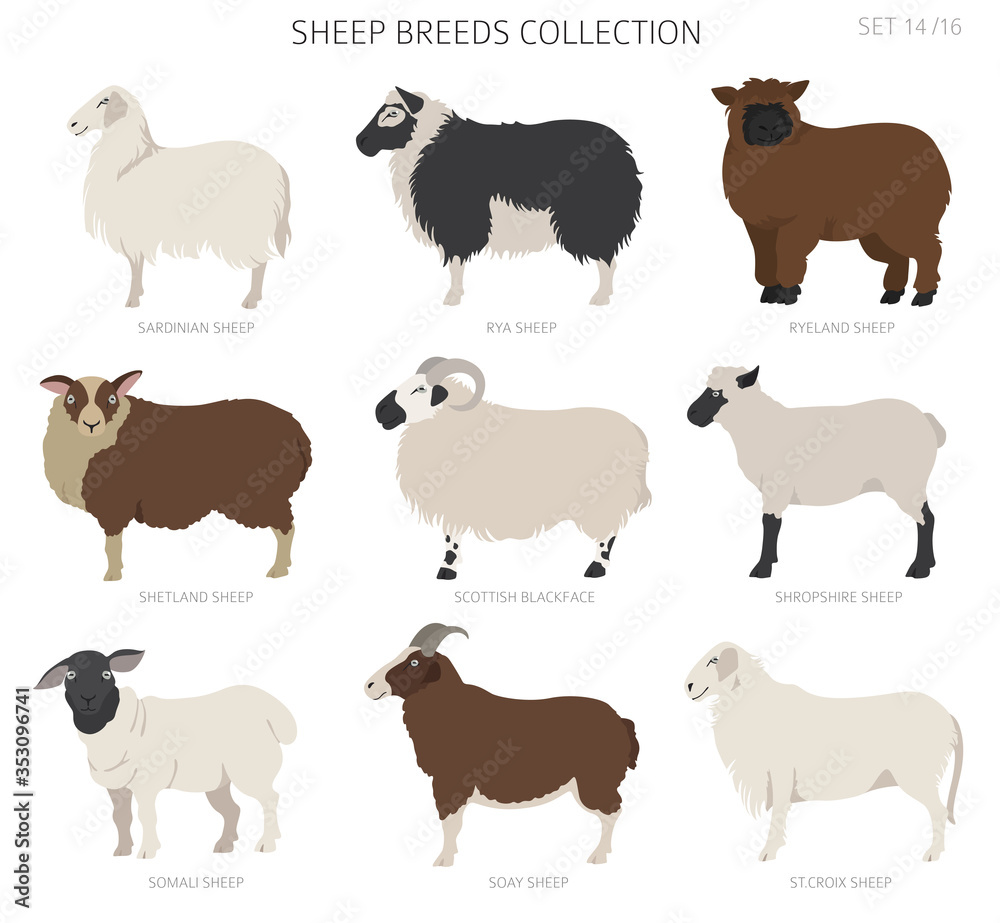 Fototapeta Sheep breeds collection 14. Farm animals set. Flat design