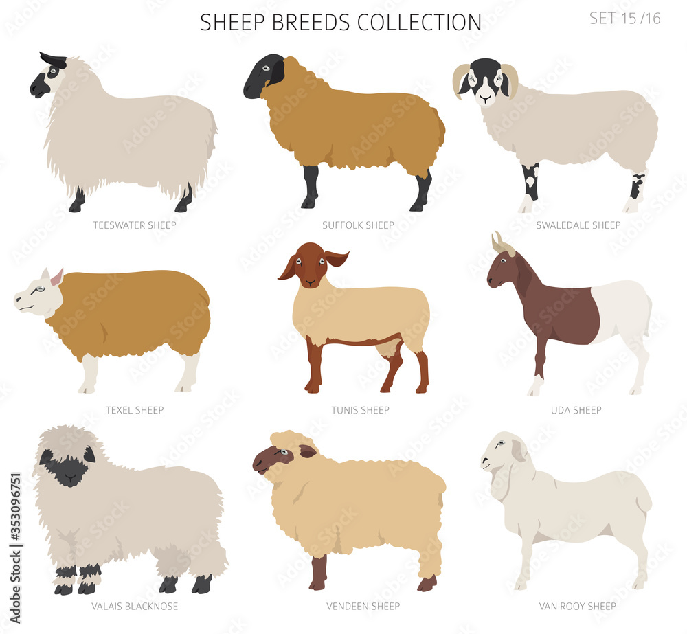 Fototapeta Sheep breeds collection 15. Farm animals set. Flat design