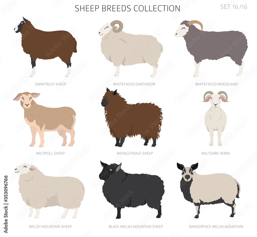 Fototapeta Sheep breeds collection16. Farm animals set. Flat design