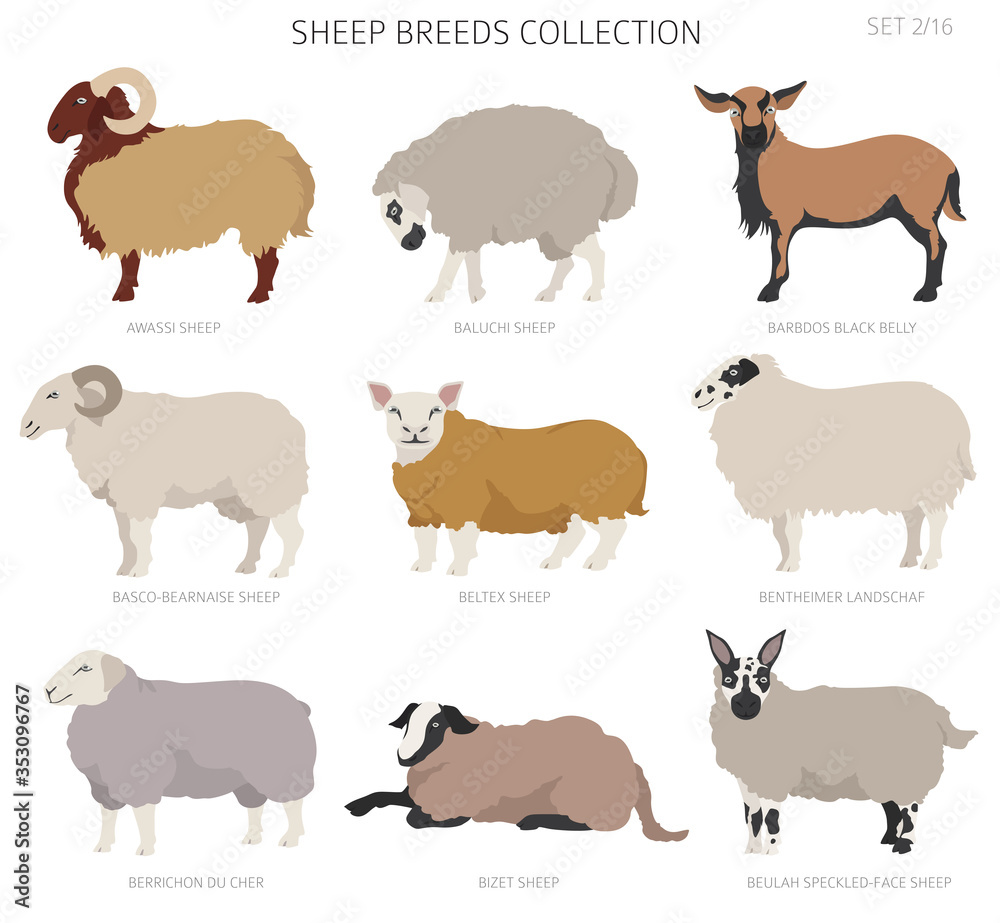 Fototapeta Sheep breeds collection 2. Farm animals set. Flat design