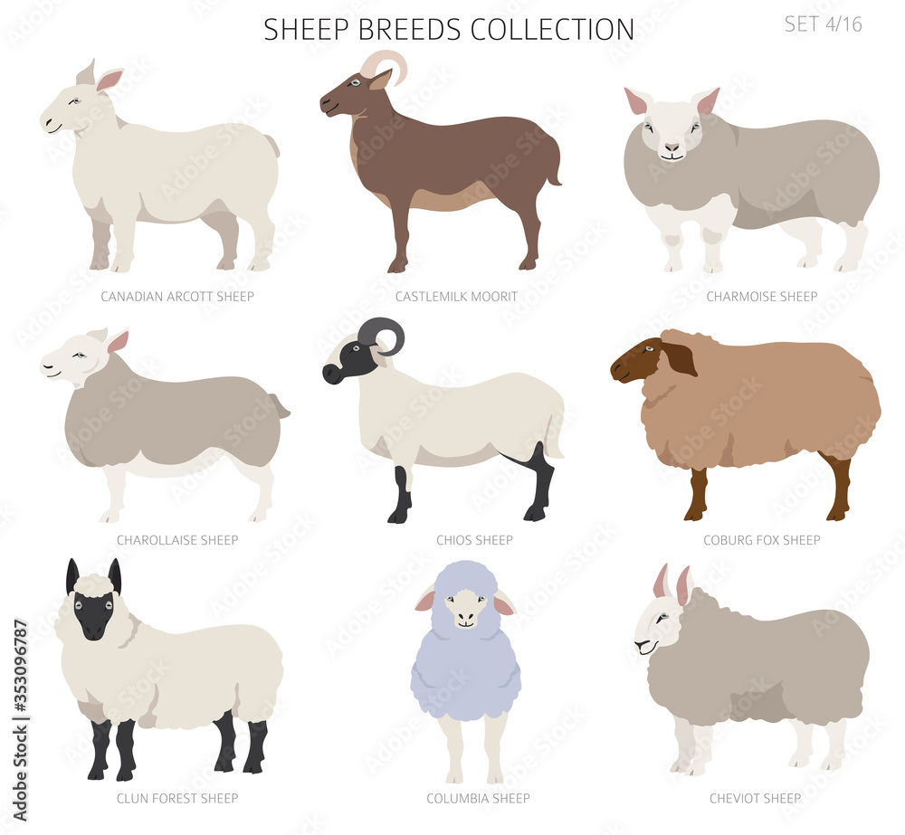 Fototapeta Sheep breeds collection 4. Farm animals set. Flat design