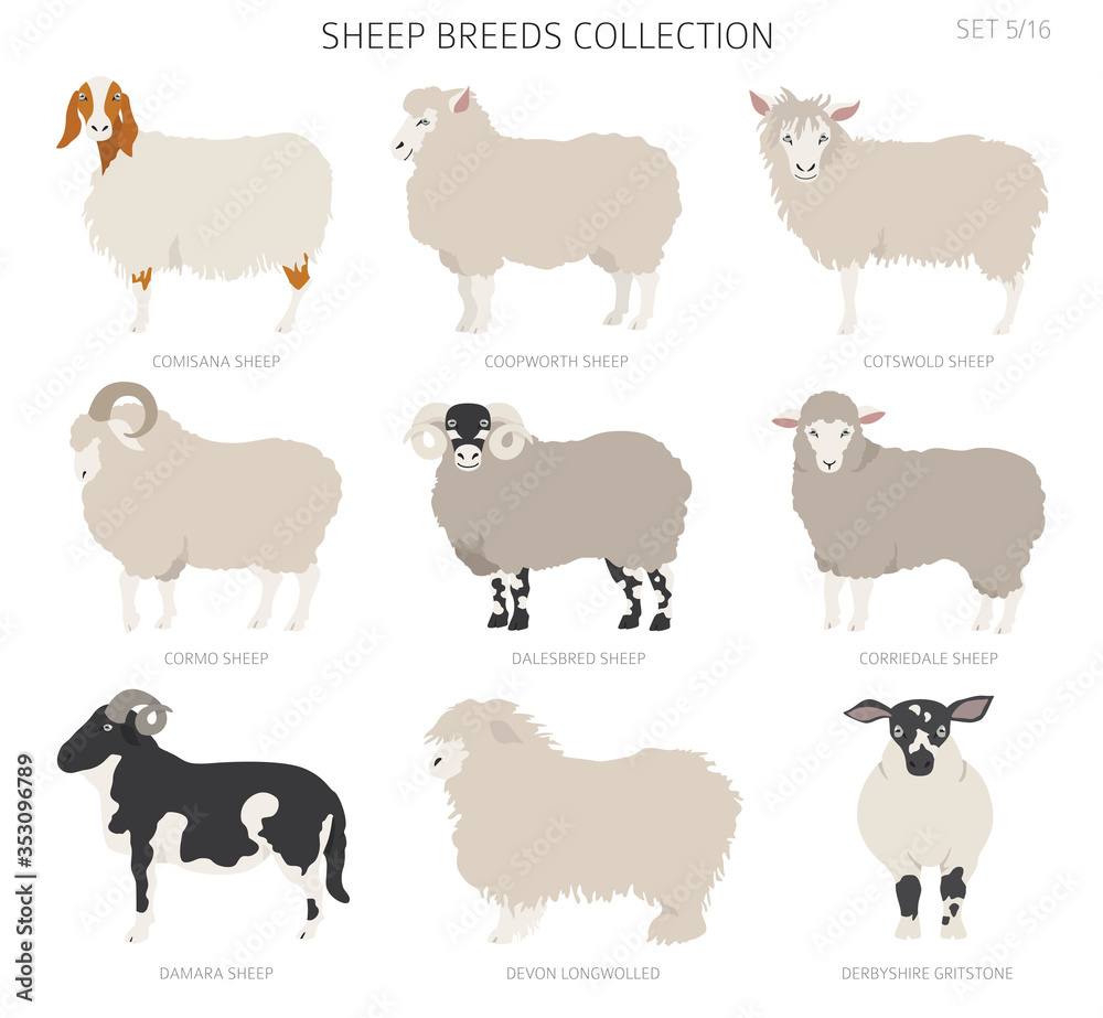 Fototapeta Sheep breeds collection 5. Farm animals set. Flat design